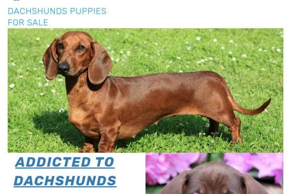 Dachshundspuppies.net - Dachshund Puppy Scam Review
